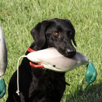 Gun Dog Training Dummies